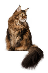 sitting  maine coon cat isolated on white