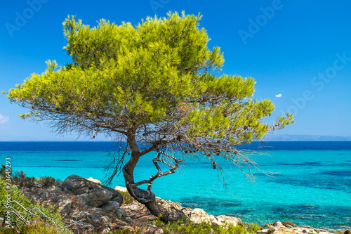 Pine forest tree by the sea in Halkidiki, Greece - 73645293