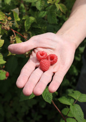 Three raspberries on man's palm