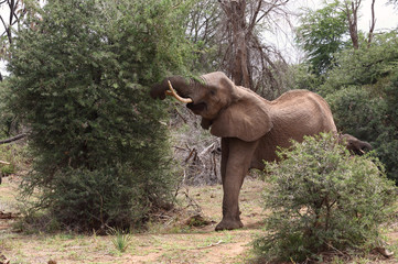 fressender Elefant