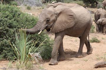 Elefant in Arika