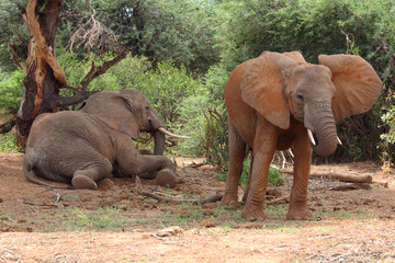 zwei Elefanen