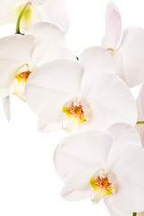 Close-up of white orchids flowers on white background