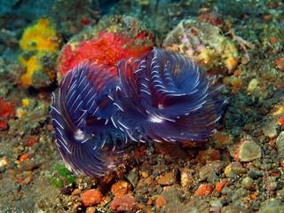 Tube worms, Island Bali, Tulamben
