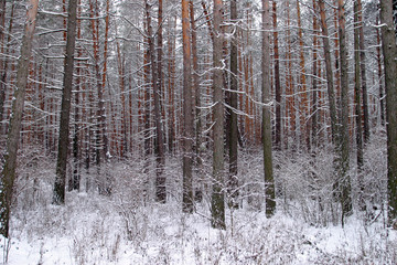 pinery in winter
