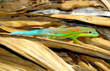 Fotoroleta Gecko in nature setting