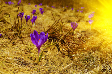 Beautiful landscape with crocuses in the sun's glow