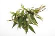 canvas print picture - Vietnamesischer Koriander ( Polygonum odoratum ),erhöhte Ansicht