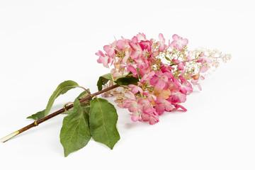 Rispenhortensie (Hydrangea paniculata)