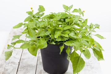 Jambu, Parakresse (Acmella oleracea), Gewürz, Heilkraut,