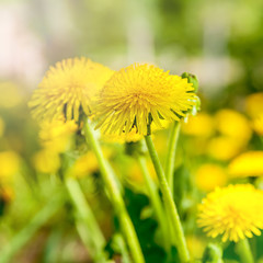 Dandelions on a background of flowers and green grass.