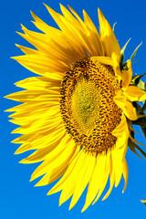 Flower of sunflower against a blue sky.