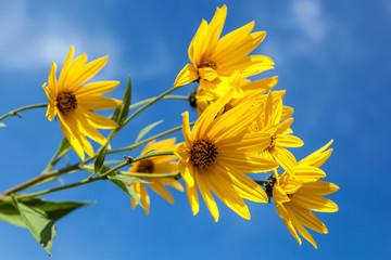 Yellow flowers against the blue sky. Flowering artichoke.