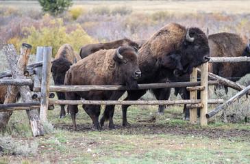 American Bison roaming in Wyoming