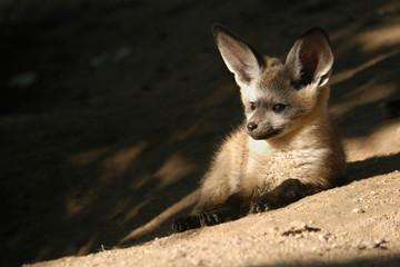 Bat-eared fox cub (Otocyon megalotis).
