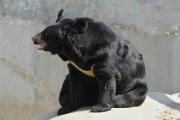 Asian black bear (Ursus thibetanus)..
