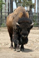 American bison (Bison bison).