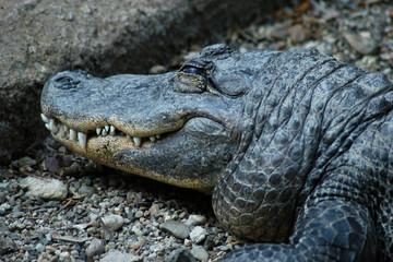 Nile crocodile (Crocodylus niloticus)..