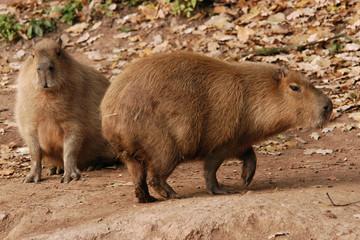 Two capybaras (Hydrochoerus hydrochaeris).