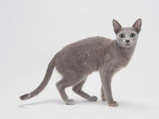 カメラ目線のロシアンブルーの子猫
