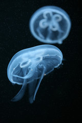Moon jellyfish (Aurelia aurita) in an aquarium. .