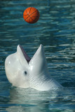 Beluga whale (Delphinapterus leucas) playing basketball. .