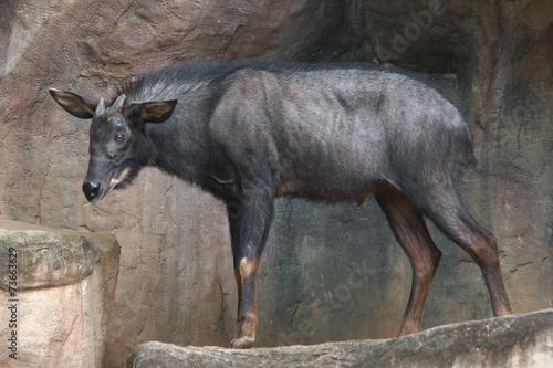 Fotobehang Antilope Mainland serow (Capricornis milneedwardsii).
