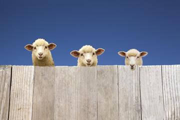 板塀越しに覗く子羊達