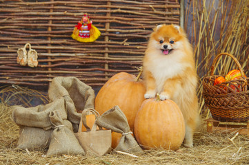Cute spitz dog and autumn harvest decorations
