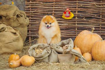 Adorable spitz puppy and autumn harvest pumpkins