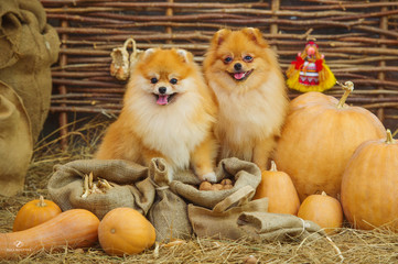 Cute spitz dogs and autumn harvest decoration
