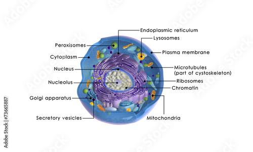 Leinwanddruck Bild Animal cell