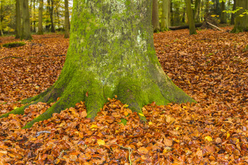English Beech Forest in Autumn