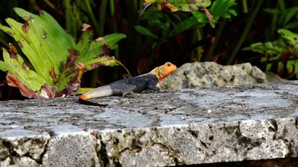 Orange-headed lizard. nature video