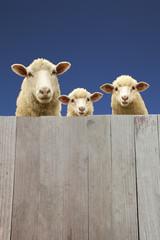板塀越しに覗く親子羊