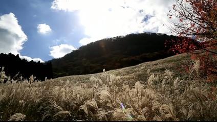 鷹巣原高原のススキ
