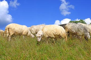 Sheep in a summer landscape