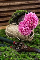blossoming spring flower hyacinth and garden scissors
