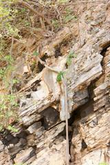banian à flanc de falaise, racines apparentes