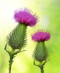 Thistle flowers on green natural background
