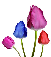 tulips isolated on white background