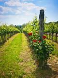 Roses in the vineyard - 73678056