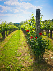 Roses in the vineyard