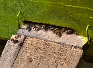 honeybees in hives 2