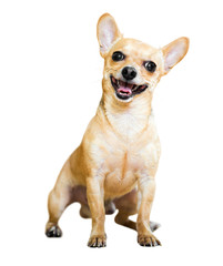 Sitting Russian Toy Terrier