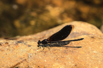 damselfly resting on stone