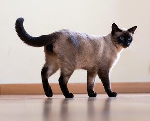 full length shot of  young  siamese cat