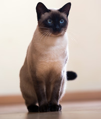 Sitting adult Siamese cat