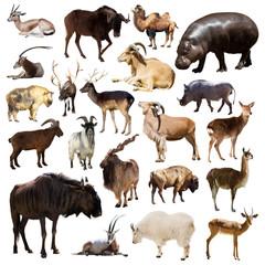 Set of Artiodactyla mammal animals on white