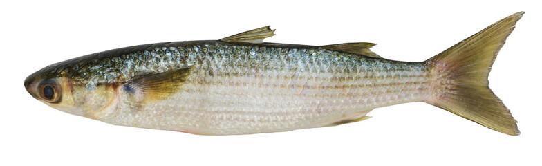 Crenimugil crenilabi (Fringelip mullet)